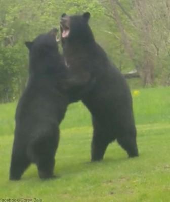 뒷마당에서 싸우는 곰 '포착'