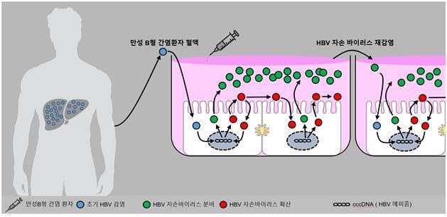 B형 간염 환자 혈액을 이용해 바이러스 전 생활사를 재현한 세포배양을 모식도로 나타냈다. 한국연구재단 제공