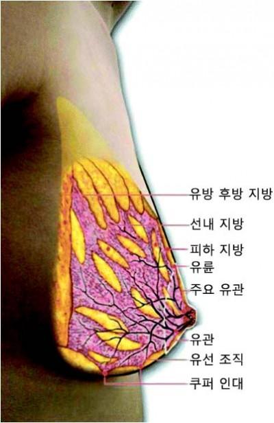 수유 중인 유방의 초음파 영상을 재구성한 그림. 보라색이 유선 조직이고 노란색은 지방 조직이다. 나무 뿌리처럼 얽힌 검은색 관은 모유가 이동하는 유관이다.  D. T. Ramsay 제공