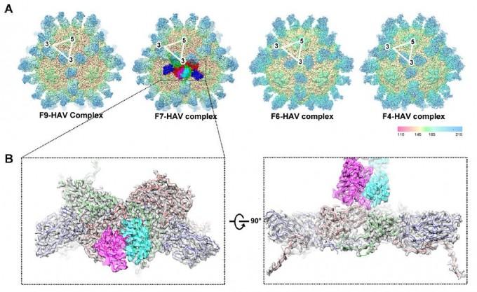 A형간염 바이러스에 감염된 생쥐에서 얻은 항체 네 가지를 바이러스에 붙인 뒤 극저온전자현미경으로 구조를 분석한 결과 모두 바이러스 표면의 같은 자리에 달라붙는 것으로 밝혀졌다. 즉 VP2와 VP3가 연결된 부분으로 아래 왼쪽은 확대 이미지이고 오른쪽은 90도 회전해 본 모습이다(위가 항체, 아래가 바이러스 캡시드의 측면). '플로스 생물학' 제공
