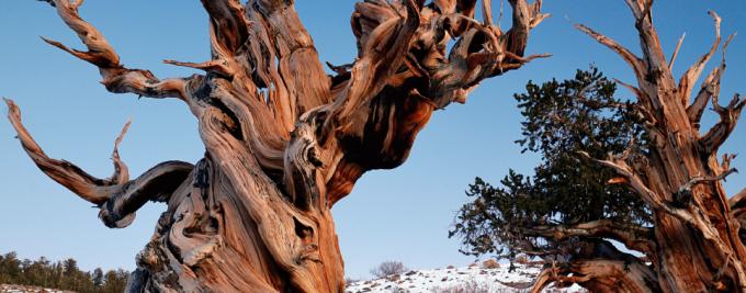 미국 캘리포니아 동부에 사는 '브리슬콘 소나무'는 가장 오래 사는 생명체로, 4850살 먹은 나무가 발견되기도 했다. 이런 나무의 나이테로 몇 천 년 전의 기후를 알 수 있어 고고학 연구에 도움이 된다. 위키피디아/Rick Goldwaser