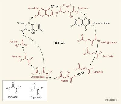 오늘날 많은 생명체의 핵심 대사 경로인 TCA 회로는 11가지 분자로 이뤄져 있다. 최근 과학자들은 피루베이트와 글라이옥실레이트 두 분자(왼쪽 아래 박스 안)와 철 이온이 들어있는 수용액을 초기 지구 조건에서 세 시간 두자 TCA 회로의 9가지 분자(빨간색)가 만들어졌음을 확인했다. 자기복제 능력이 있는 분자가 TCA 회로를 비롯한 여러 대사 회로를 발명한 게 아니라 주위에서 가져다 쓴 것이라면 비생물에서 생물로의 도약의 폭이 꽤 줄어들 수도 있다. 네이처 제공