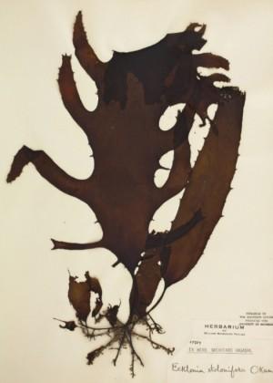 미역ㄷ과 함께 갈조류에 속하는 곰피, 곰피에 든 당지질이 계면활성제 역할을 하기 때문에 비누로 쓰였다. 미시건대 제공