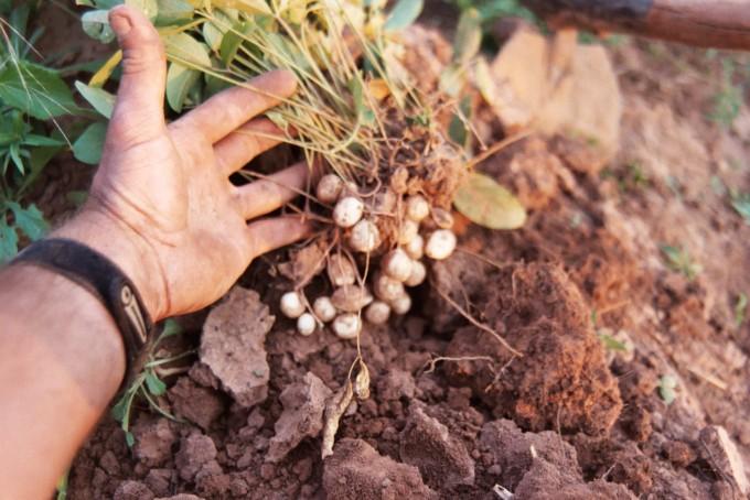 콩과식물인 밤바라는 단백질이 풍부하며 척박한 환경에서도 잘 자란다. 위키백과 제공