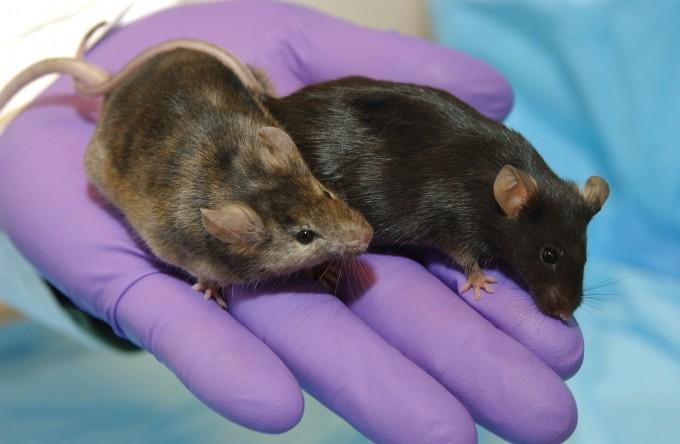 모발 성장에 영향을 주는 유전자를 제거한 실험실 쥐와 일반적인 실험실 쥐. NHGRI 제공