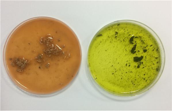 깃갈이 단식 전(왼쪽) 젠투펭귄의 똥에는 크릴을 섭취한 잔해가 남아있는 반면, 단식 중(오른쪽)에는 먹이 섭취가 중단돼 음식물 잔해가 거의 없다. 단식 중 똥이 녹색인 것은 담즙 때문이다. 사진제공 극지연구소