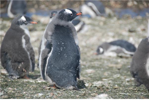 남극특별보호구역 No.171에서 촬영한 깃갈이 중인 젠투펭귄의 모습이다. 물에 들어갈 수 없어 2~3주간 단식을 한다. 이원영 극지연구소 선임연구원팀은 남극 펭귄의 깃갈이 기간에 장내미생물 조성에 변화가 생기며, 이는 단식에 따른 스트레스를 극복하기 위해서로 추정된다고 밝혔다. 사진제공 극지연구소