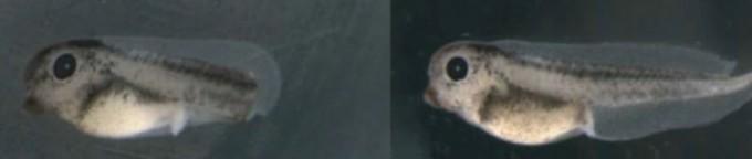 연구팀이 ROC(Regeneration-Oranizing Cells)를 제거하자 꼬리 재생이 일어나지 않았다(왼쪽). university of cambridge