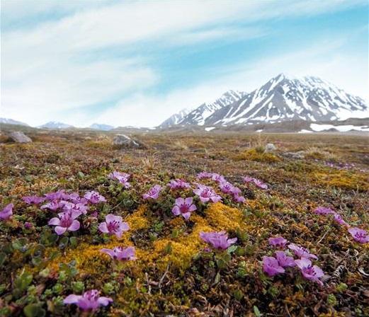 이유경 극지연 책임연구원이 가장 좋아하는 북극 식물로 꼽은 자주범의귀. 가장 북쪽에 사는 꽃이자, 빙하가 물러난 땅에 미생물 다음으로 먼저 자리잡는 식물이다. 이 책임연구원은 ′용감해서′ 이 꽃을 좋아한다고 답했다. 이 책임연구원이 낸 ′한 눈에 보는 스발바르 식물′ 표지에도 자주범의귀가 들어갔다. 황영심 제공(′한 눈에 보는 스발바르 식물′ 발췌)