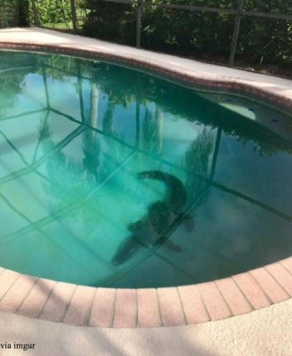 수영장 속에 악어가