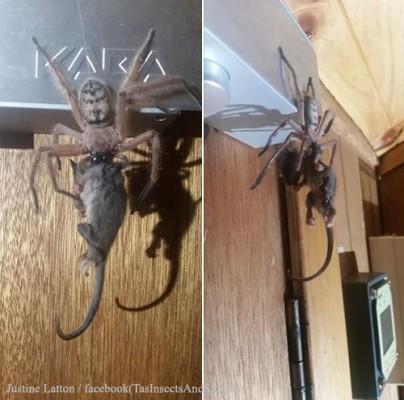 거미가 주머니쥐를 사냥해 '화제'