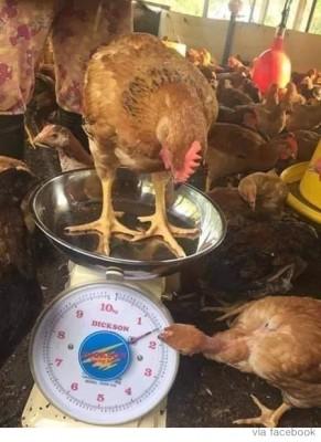 """""""친구야, 나 몇 kg?"""" 몸무게 재는 닭"""