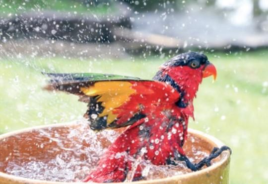 물을 담아 두면 깃털을 퍼덕이며 스스로 목욕을 하는 개체도 있다. 게티이미지뱅크