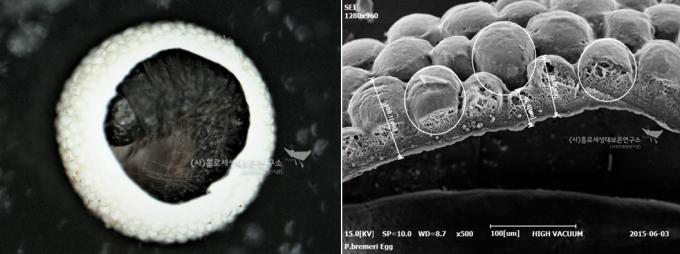 (왼쪽) 붉은점모시나비  알 속 애벌레와 알껍데기 확대 (SEM촬영)