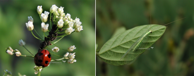 (왼쪽) 생물학적 방제에 쓰이는 무당벌레와 풀잠자리