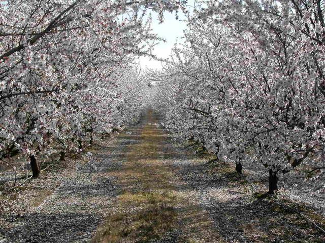 미국 캘리포니아주에 위치한 아몬드 제조업체의 농장. J D Almond Farms Inc 제공