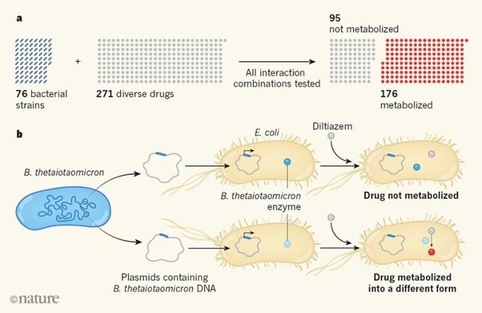 인체 장내미생물 76가지 균주와 경구용 약 271가지를 대상으로 대사 여부를 조사한 결과 176가지 약물이 적어도 한 가지 균주에 의해 대사되는 것으로 밝혀졌다. b) 46가지 약물을 대사할 수 있는 박테로이데스 테타이오타오미크론의 게놈에서 특정 약물을 대사하는 효소의 유전자를 찾는 방법을 도식화한 그림이다. 게놈을 5만1000개 조각으로 쪼개 각각을 대장균(E. coli)에 넣어준 뒤 약물(여기서는 딜티아젬)의 농도변화를 본다. 만일 농도가 줄었다면 그 대장균에 넣은 게놈 조각에 대사 효소 유전자가 들어있는 것이다(아래). 네이처 제공