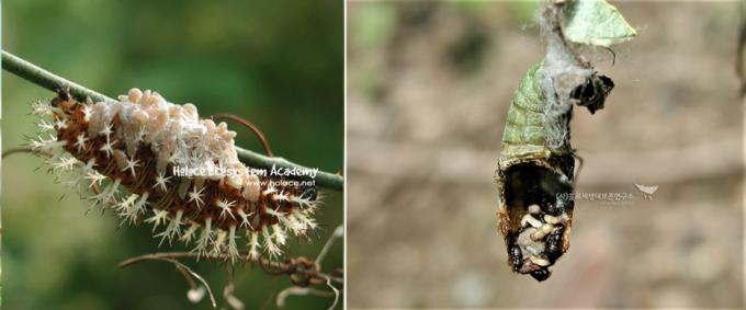 (왼쪽) 청띠신선나비 외부기생과 흑백알락나비 내부 기생