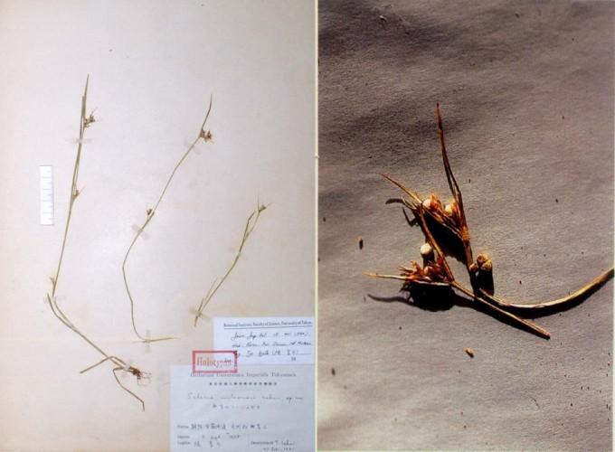 영국 연구팀은 1900년 이래로 매년 종자식물 3종이 멸종하고 있으며 이는 자연 속도의 500배 수준이라고 보고했다. 멸종된 종자식물에는 한국의 ′무등풀′도 포함돼 있다. 사진은 무등풀의 표본(왼쪽)과 열매다. 국립수목원 국가생물종지식정보시스템 제공
