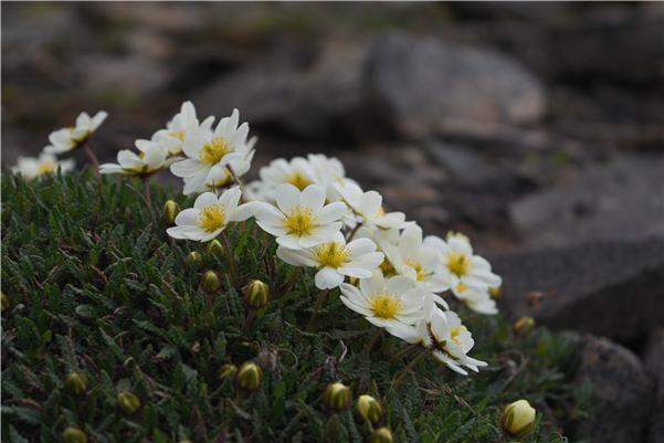 스발바르에 사는 담자리꽃나무의 모습을 담았다. 동토에 핀 꽃이라 더 귀하다. 사진제공 극지연구소