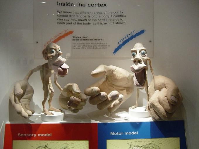 감각 피질 호문쿨루스(왼쪽)와 운동 피질 호문쿨루스(오른쪽)는 둘 다 입술과 손은 엄청나게 큰 반면 몸통과 팔다리는 왜소한 기형적인 모습이다. 이는 뇌가 처리하는 정보량을 보여주는 것으로 엄밀한 뇌과학 연구의 결과다. 런던자연사박물관 제공