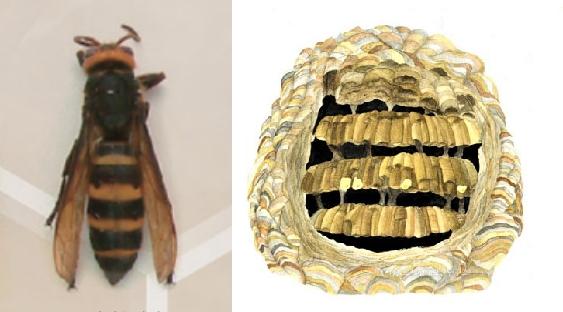 꼬마장수말벌과 말벌집. 과학동아 제공