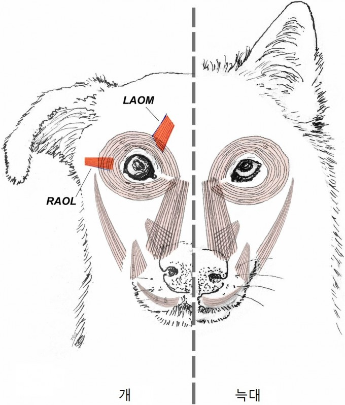 개는 늑대와 달리 눈꺼풀을 들어올리는 눈윗근육(LAOM)과 눈을 귀쪽으로 당겨서 크게 보이게 하는 눈옆근육(RAOL)이 발달했다. 개가 대부분 둥글고 초롱초롱한 눈빛을 가진 반면, 늑대는 눈을 가늘게 뜨고 날카롭게 바라보는 눈빛을 가진 이유다. 미국국립과학원회보 제공