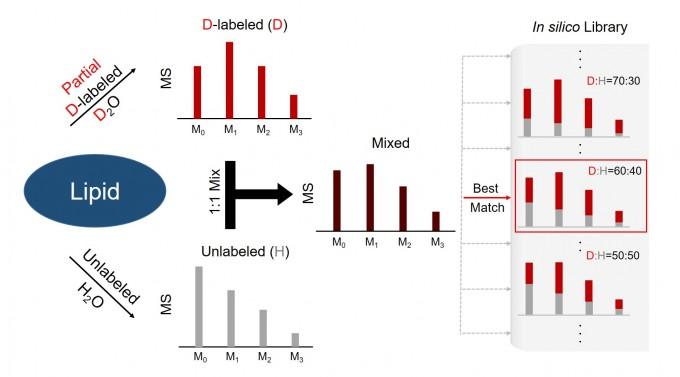 중수 표지법을 이용하여 동위원소분포를 측정하고 지질의 상대정량비를 구하는 모식도로 나타냈다. GIST 제공