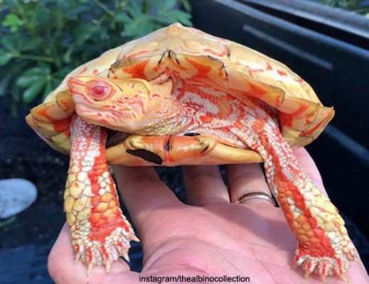 신비로운 알비노 거북