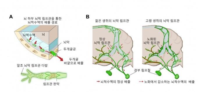 뇌막 림프관의 위치와 연령에 따른 구조 변화 과정 모식도로 나타냈다. 과학기술정보통신부 제공