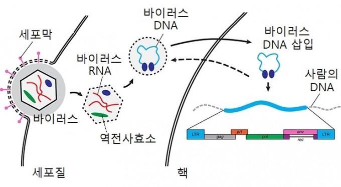 레트로바이러스의 유전정보가 사람의 DNA에 삽입되는 과정. 레트로바이러스의 유전물질은 RNA로, 사람의 세포 내에서 역전사효소를 이용해 DNA를 만든다. 이 바이러스의 DNA가 사람의 DNA에 삽입될 수 있다. 프론티어스 인 케미스트리 제공.