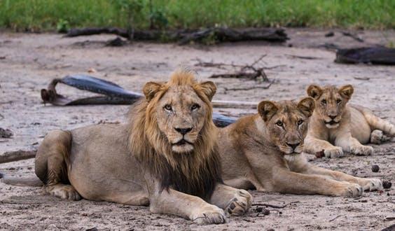 실제 사자 세계에서는 '심바'와 '날라' 다시 만날 일은 없다
