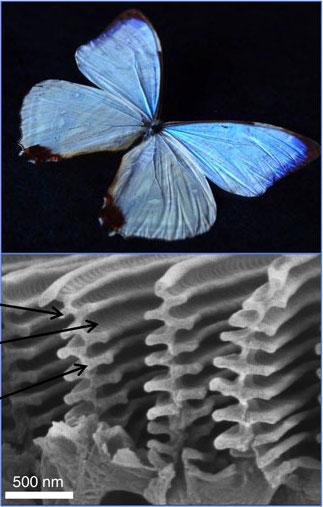 선명한 파란색 날개가 인상적인 몰포나비의 날개 비늘에는 파란색소가 전혀 없다. 대신 비늘 표면이 공기층과 비늘층이 교대로 배열된 독특한 구조를 지녀 파란빛의 보강간섭을 일으킨 결과다. 이렇게 만들어지는 색을 구조색이라고 부른다. 위키피디아 제공