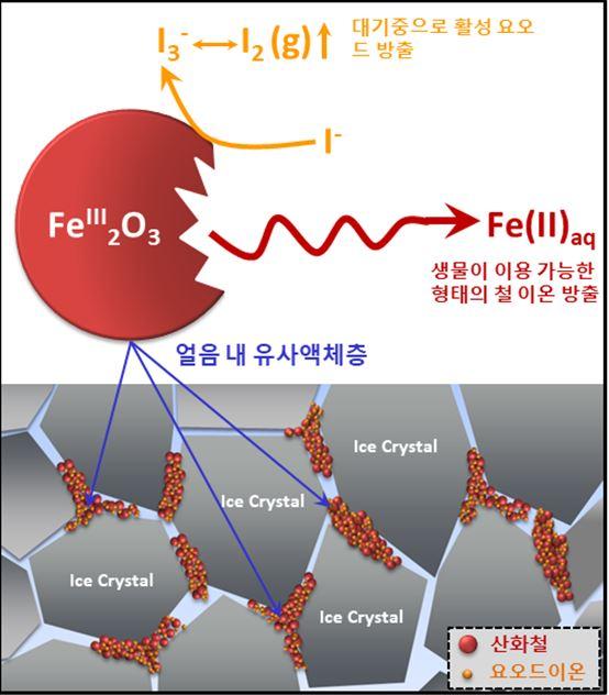 동결농축효과로 얼음 결정 사이 유사 액체층에 산화철 입자, 요오드 이온, 수소이온의 농도가 크게 증가하고 독특한 화학반응으로 생물이 이용가능한 철 이온과 요오드기체가 활발히 생성됐다. 극지연 제공
