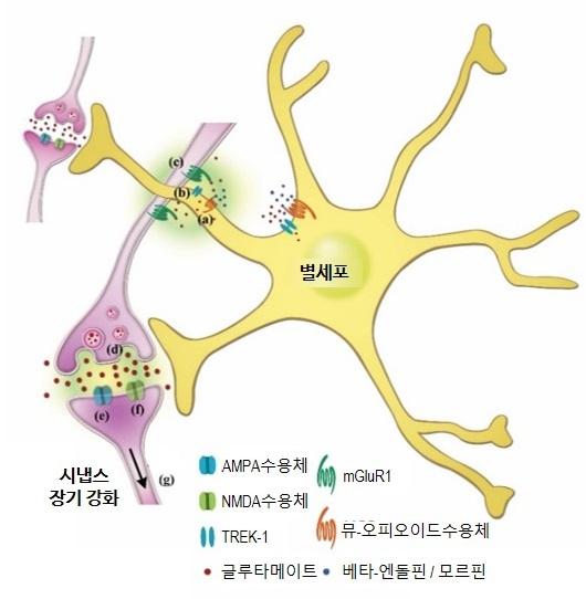 신경세포(뉴런, 보라색)과 그 주위 별세포(노란색)를 묘사한 그림이다. 별세포가 가진 특정 오피오이드 수용체(뮤오피오이드 수용체, 오렌지색)가 장소 선호 기억을 형성하고 오래 기억하는 데 관여한다는 사실이 밝혀졌다. 사진제공 IBS