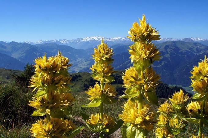유럽과 중국에서 재배되는 외국 식물인 ′겐티아나 루테아′(노란용담)에서 여성 갱년기 증후군 개선 물질이 발견됐다. 한국생명공학연구원 제공