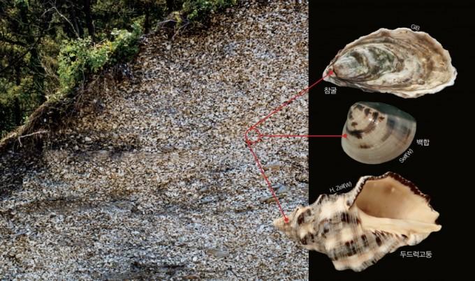 서해 연평도 주변의 모이도에서 발견된 패총의 모습. 해안 절벽에서 무려 두께 6m에 이르는 조개껍데기 층이 확인되었다. 두드럭고둥, 참굴, 백합 등의 조개류는 물론 매가오리 등 물고기의 뼈도 많이 남아있다. 국립문화재연구소 제공