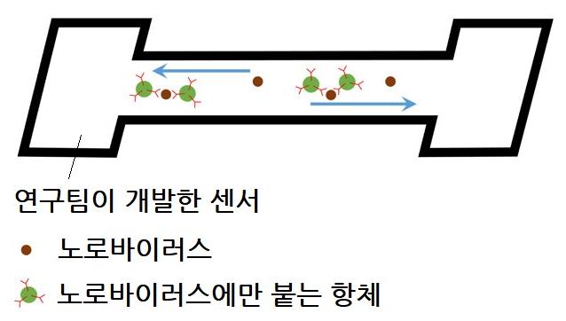 연구팀이 개발한 노로바이러스 검출 센서의 원리. 물 속에 노로바이러스가 있을 경우 특이적으로 붙는 항체가 들러붙는다. 이 항체에 있는 형광물질이 형광을 띤다. 애리조나대 제공