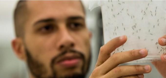 옥시텍은 GM 모기를 개발하고 생산해 브라질과 중앙아메리카 카리브해에 있는 케이맨 제도 등에 방사했다. Oxitec 제공