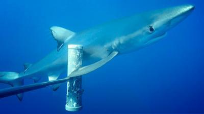 인간 탓에 상어 개체수 줄고 몸집도 작아져