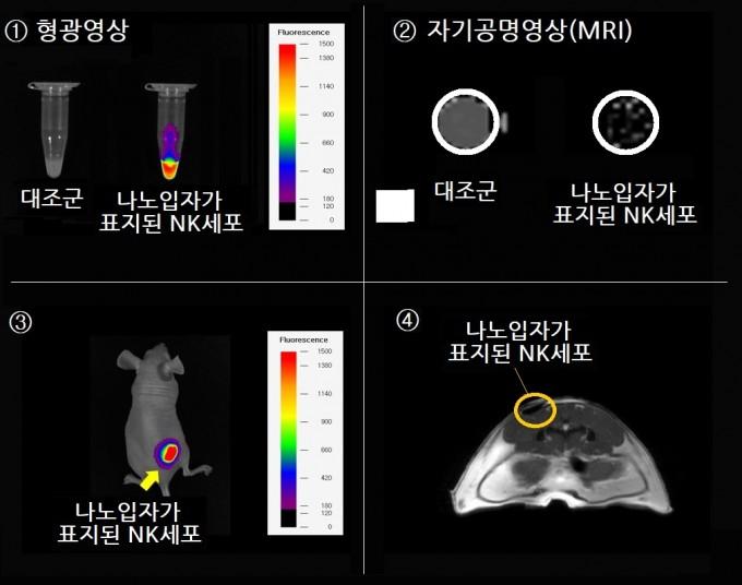 나노입자를 활용해 항암치료제로 개발한 NK세포를 체내에서 추적한 영상. ①나노입자-NK세포에서 내뿜는 형광신호를 확인(오른쪽). ② MRI 촬영 결과 나노입자-NK세포는 추적이 가능(오른쪽). ③ 나노입자-NK세포를 쥐에게 주입한 뒤 형광신호를 관찰해 추적이 가능. ④ 나노입자-NK세포를 쥐에게 주입한 뒤 MRI로 추적이 가능. 한국연구재단 제공