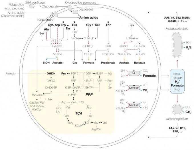 MK-D1의 배양 조건과 게놈의 대사 관련 유전자 분석을 토대로 제시한 대사 메커니즘과 미생물 두 종과의 공생영양 관계를 보여주는 도식이다. 왼쪽 큰 원이 MK-D1이고 오른쪽 위가 황산염 환원 박테리아, 오른쪽 아래가 메탄 생성 고세균이다. 'bioRxiv' 제공