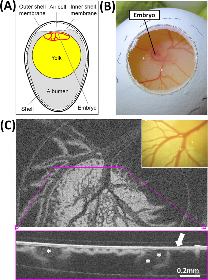 3.5일차 달걀의 껍질에 동전만한 구멍을 내 안을 들여다보면 배아(embryo) 주변 노른자에 혈관이 형성돼 있다. 여기에 근적외선을 쪼여 얻은 스펙트럼을 분석하면 성별을 알 수 있다. 암수의 혈구 조성이 다르기 때문이다. 플로스원 제공