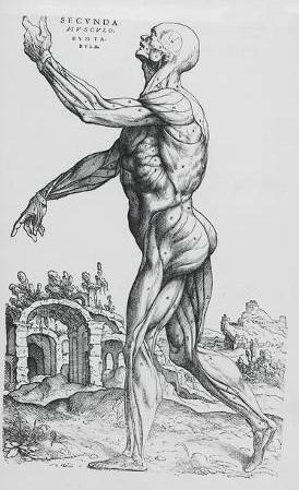 베살리우스가 쓴 '인체 구조에 관하여(De humani corporis fabrica libri septem)' 근육 해부도