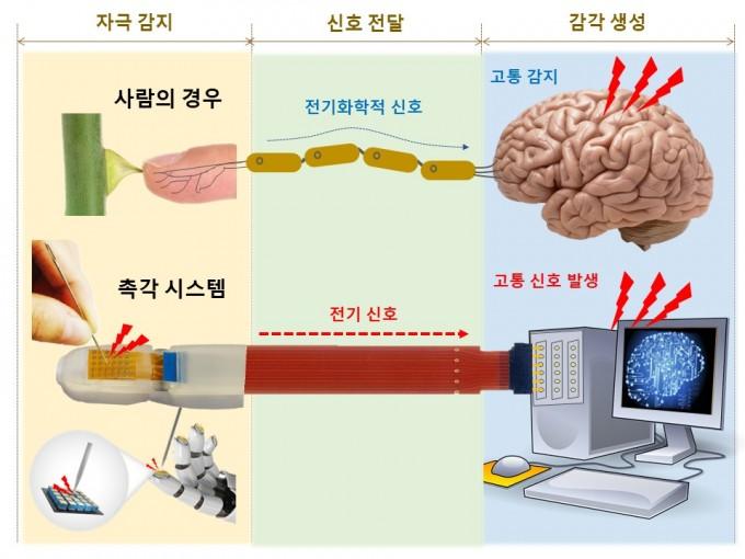 동물이 촉각 고통신호를 느끼는 과정(위)와 연구팀의 촉각센서가 느끼는 과정을 비교했다. 촉각이 뾰족하거나 뜨거운 물체에 닿았을 때 특정 조건를 발생시키면 이를 고통 신호로 판단하는 신호처리 기술을 도입했다. DGIST 제공