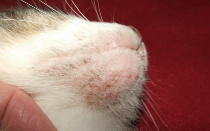 고양이 턱에 오돌오돌하게 생긴 여드름