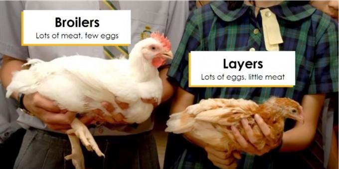 닭은 쓸모에 따라 육계(왼쪽)와 산란계(오른쪽)로 품종개량됐다. 둘의 지향점이 너무 달라 장점만을 살린 '겸용종' 개발은 실패했다. eggXYt 유튜브 캡쳐