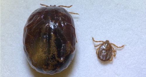 중증열성혈소판감소증후군(SFTS)을 전염시키는 작은소피참진드기가 흡혈한 것(왼쪽)과 흡혈하기 전 모습(오른쪽). 미국 플로리다대 제공