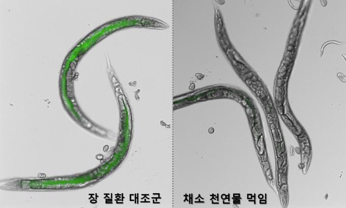 예끈꼬마선충에게 유해 장내균을 먹인 결과 몸의 투명성이 낮아지고 형광물질(녹색)이 축적되는 현상이 관찰됐다(왼쪽). 반면 장 질환 개선에 도움이 되는 물질을 섭취하자 투명도가 개선됐다. KIST 연구팀은 이렇게 예쁜꼬마선충을 이용해 장 질환 개선 식의약품 후보물질을 발굴하는 기술을 개발했다. KIST 제공
