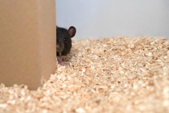 """""""꼭꼭 숨어라. 꼬리 보일라"""" 쥐도 사람과 숨바꼭질할 수 있다"""